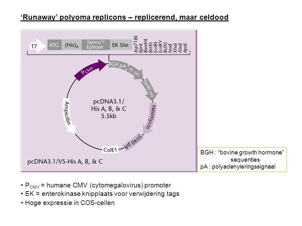 'Runaway' polyoma replicons – replicerend, maar celdood P CMV = humane CMV (cytomegalovirus) promoter EK = enterokinase knipplaats voor verwijdering t