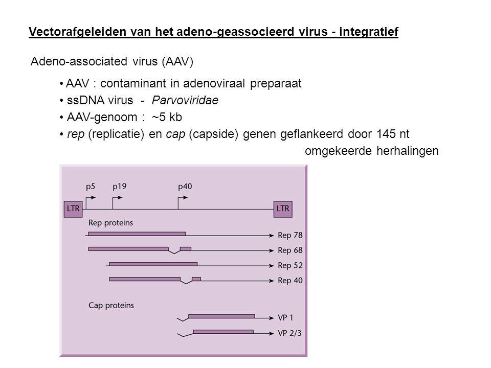Vectorafgeleiden van het adeno-geassocieerd virus - integratief Adeno-associated virus (AAV) AAV : contaminant in adenoviraal preparaat ssDNA virus -
