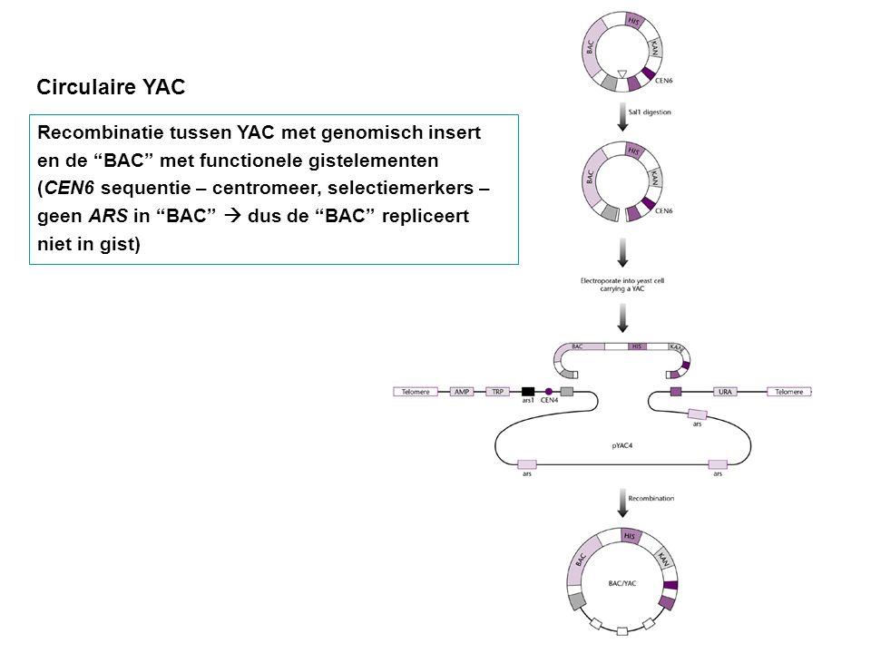 """Circulaire YAC Recombinatie tussen YAC met genomisch insert en de """"BAC"""" met functionele gistelementen (CEN6 sequentie – centromeer, selectiemerkers –"""