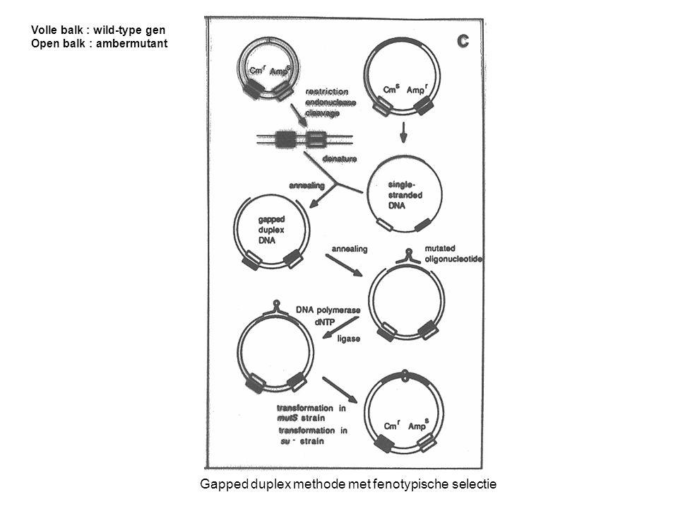 Gapped duplex methode met fenotypische selectie Volle balk : wild-type gen Open balk : ambermutant