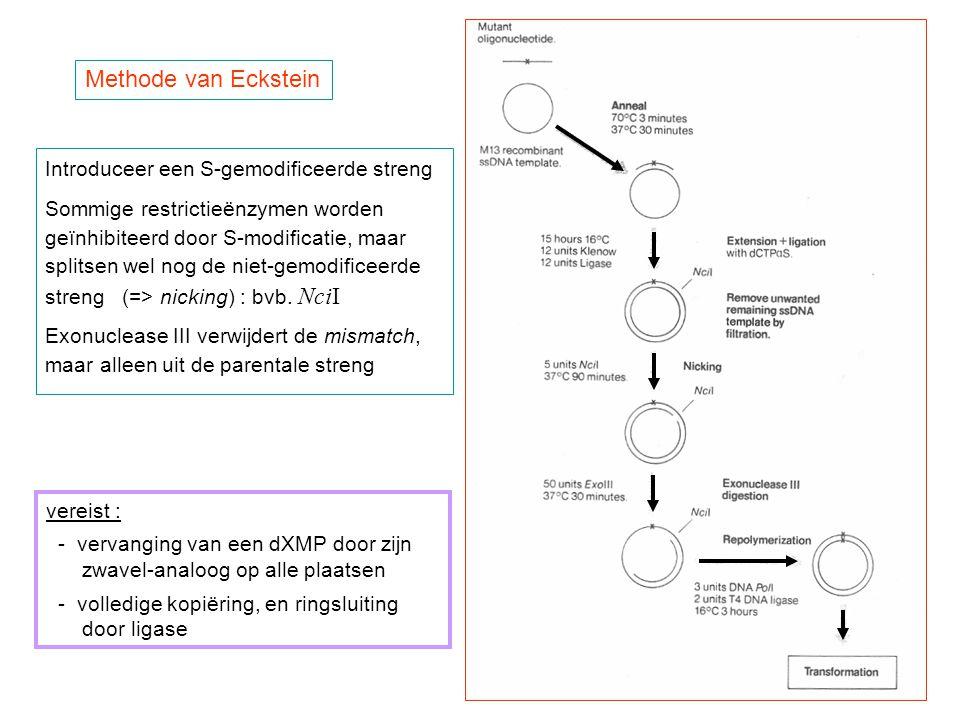Methode van Eckstein Introduceer een S-gemodificeerde streng Sommige restrictieënzymen worden geïnhibiteerd door S-modificatie, maar splitsen wel nog