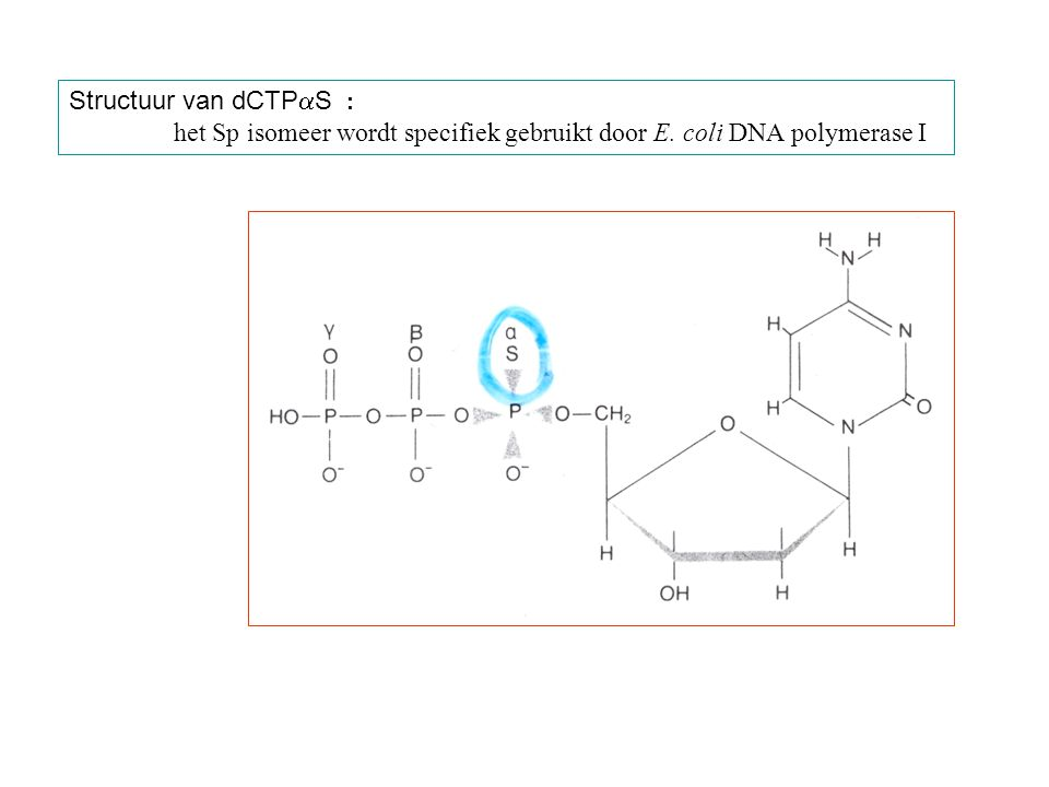 Structuur van dCTP  S : het Sp isomeer wordt specifiek gebruikt door E. coli DNA polymerase I