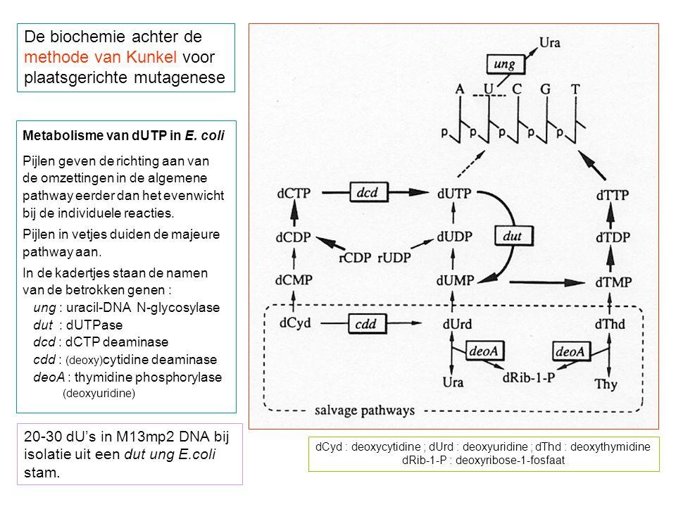 De biochemie achter de methode van Kunkel voor plaatsgerichte mutagenese Metabolisme van dUTP in E. coli Pijlen geven de richting aan van de omzetting