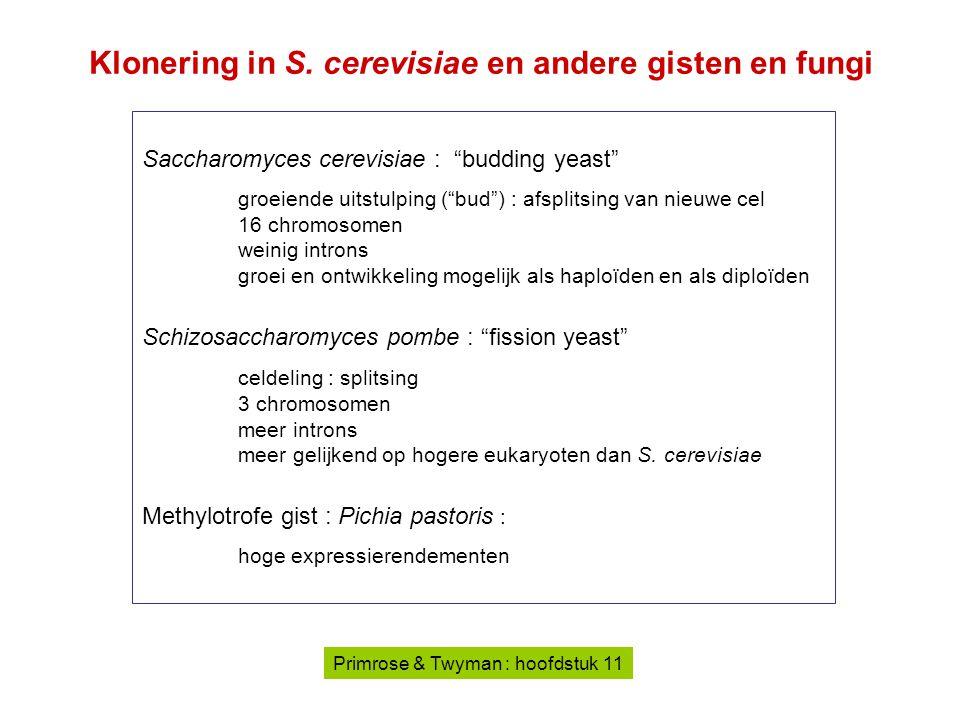 """Saccharomyces cerevisiae : """"budding yeast"""" groeiende uitstulping (""""bud"""") : afsplitsing van nieuwe cel 16 chromosomen weinig introns groei en ontwikkel"""