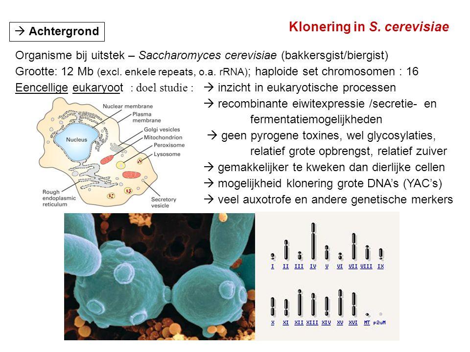 Klonering in S. cerevisiae  Achtergrond Organisme bij uitstek – Saccharomyces cerevisiae (bakkersgist/biergist) Grootte: 12 Mb (excl. enkele repeats,