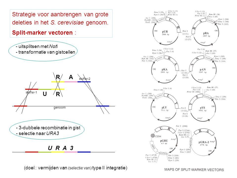 Strategie voor aanbrengen van grote deleties in het S. cerevisiae genoom. Split-marker vectoren : stuffer-1 stuffer-2 U R RA - uitsplitsen met NotI -