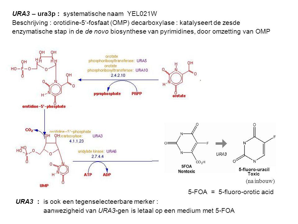 URA3 : is ook een tegenselecteerbare merker : aanwezigheid van URA3-gen is letaal op een medium met 5-FOA URA3 – ura3p : systematische naam YEL021W Be