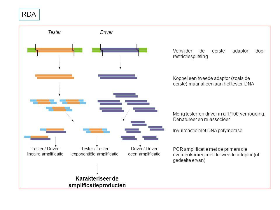RDA Verwijder de eerste adaptor door restrictiesplitsing Koppel een tweede adaptor (zoals de eerste) maar alleen aan het tester DNA Meng tester en dri