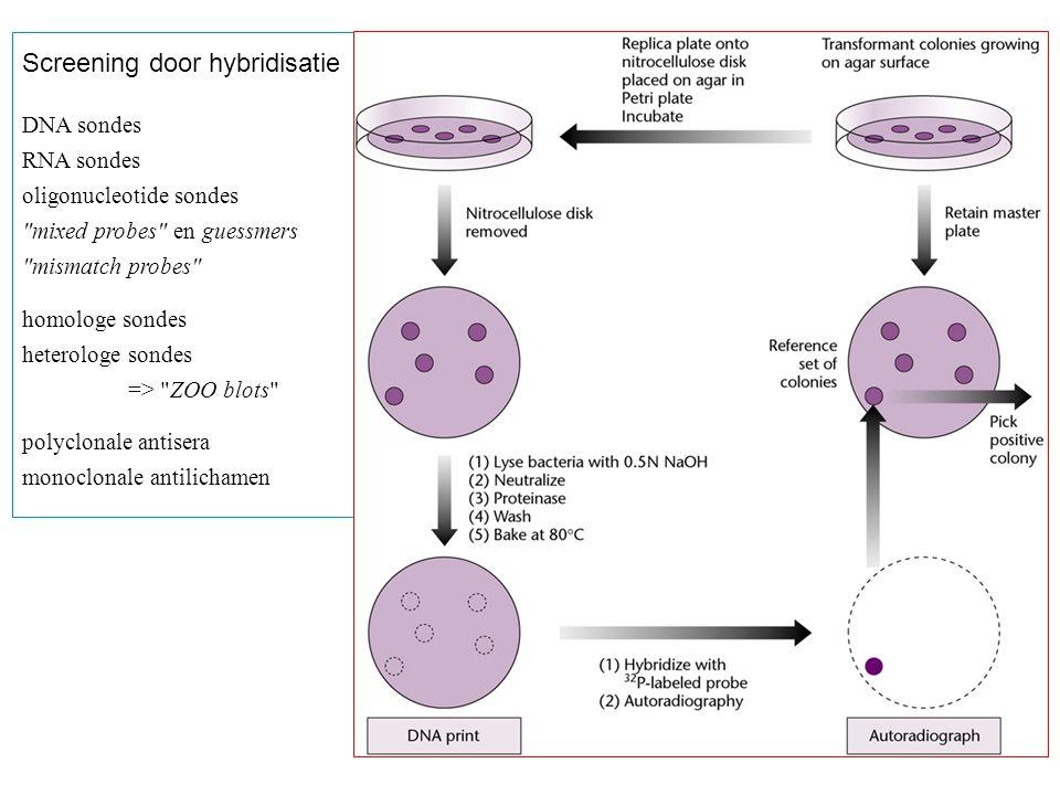 Immunoscreening Detectie door : - het gemerkte antilichaam zelf of - gemerkt proteïne A (zoals in deze figuur) of - gebruik van een tweede antilichaam dat specifiek bindt aan het primaire antilichaam.