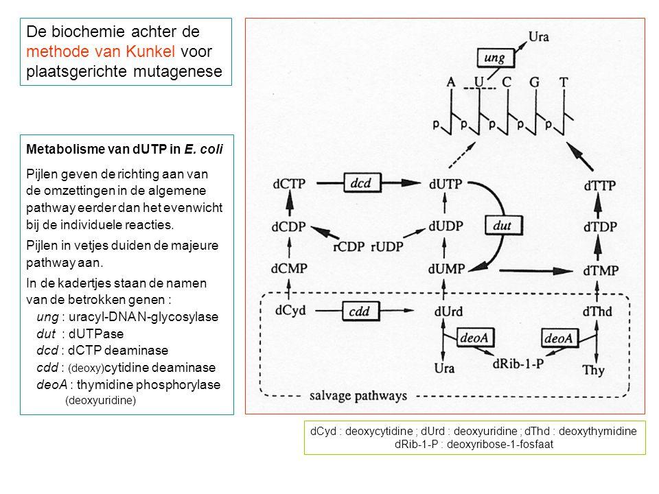 De biochemie achter de methode van Kunkel voor plaatsgerichte mutagenese Metabolisme van dUTP in E.