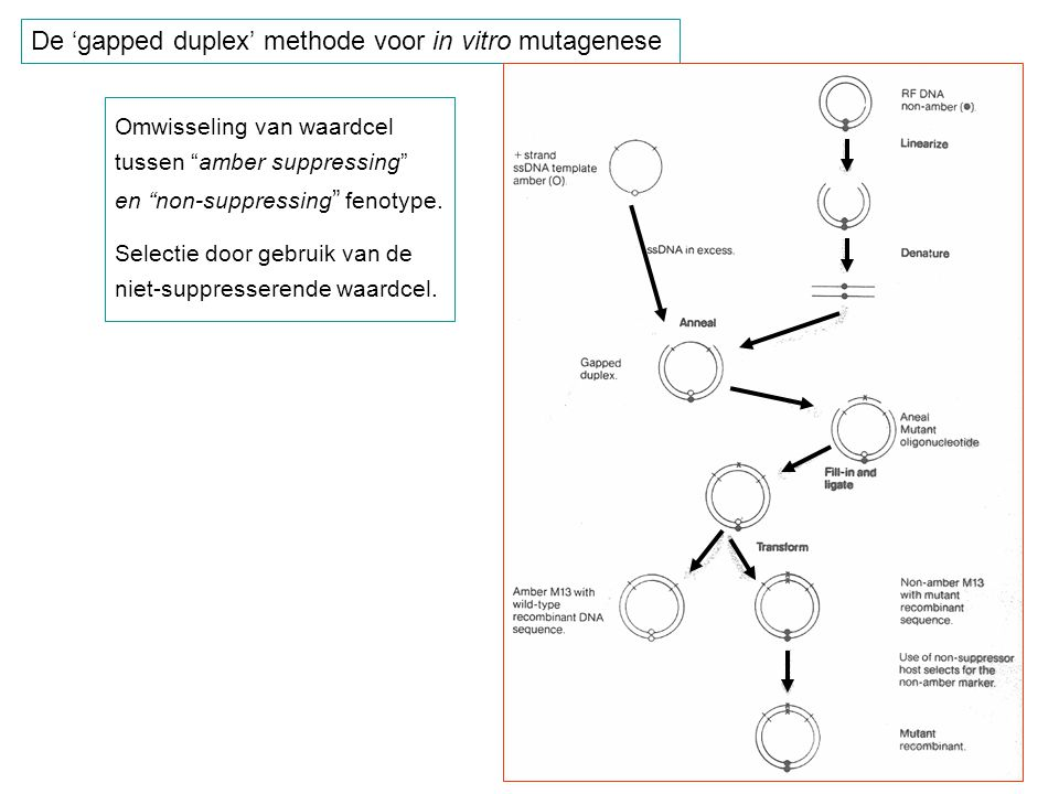 "De 'gapped duplex' methode voor in vitro mutagenese Omwisseling van waardcel tussen ""amber suppressing"" en ""non-suppressing "" fenotype. Selectie door"
