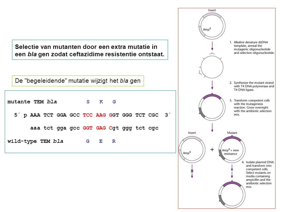 mutante TEM bla S K G 5´ p AAA TCT GGA GCC TCC AAG GGT GGG TCT CGC 3´ aaa tct gga gcc GGT GAG Cgt ggg tct cgc wild-type TEM bla G E R Selectie van mutanten door een extra mutatie in een bla gen zodat ceftazidime resistentie ontstaat.