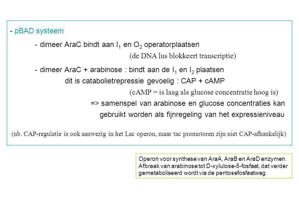 - pBAD systeem -dimeer AraC bindt aan I 1 en O 2 operatorplaatsen (de DNA lus blokkeert transcriptie) -dimeer AraC + arabinose : bindt aan de I 1 en I