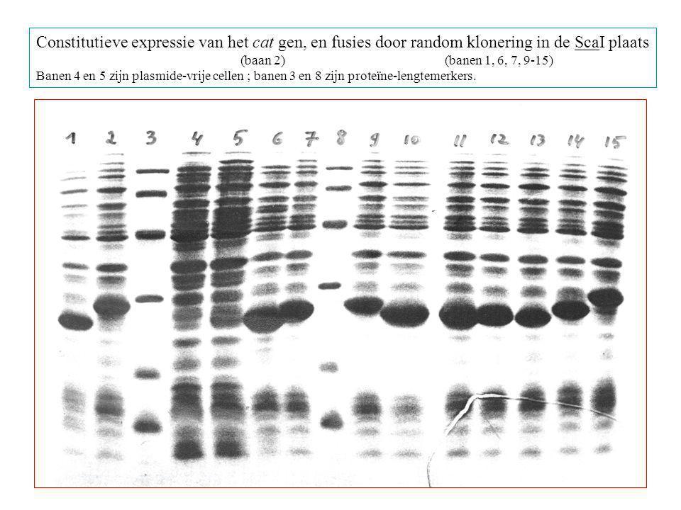 Constitutieve expressie van het cat gen, en fusies door random klonering in de ScaI plaats (baan 2)(banen 1, 6, 7, 9-15) Banen 4 en 5 zijn plasmide-vrije cellen ; banen 3 en 8 zijn proteïne-lengtemerkers.