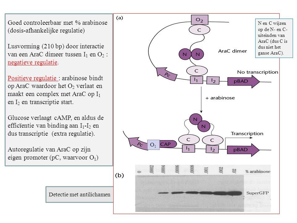 Detectie met antilichamen Goed controleerbaar met % arabinose (dosis-afhankelijke regulatie) Lusvorming (210 bp) door interactie van een AraC dimeer t