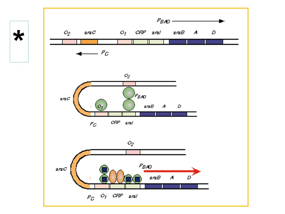 Light switch mechanism of AraC protein action.