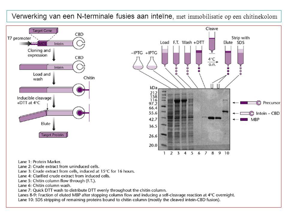 Verwerking van een N-terminale fusies aan inteïne, met immobilisatie op een chitinekolom