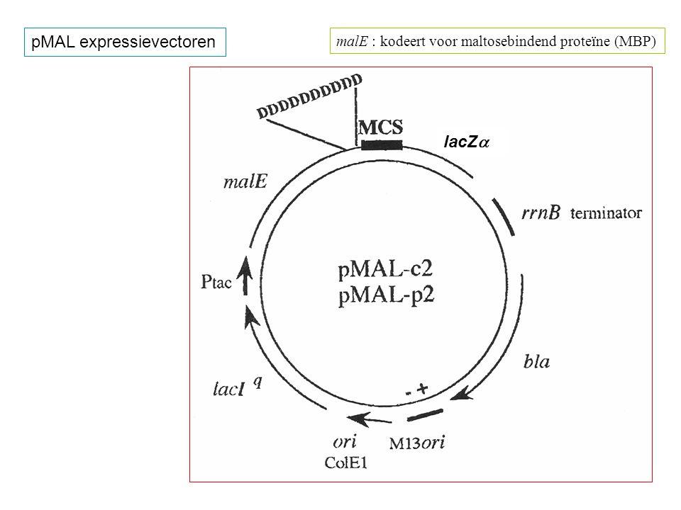 Karakteristieken van pMAL vectoren : ColE1 ori ; M13 ori ; P tac ; rrnB terminators ; lacI q ; bla Fusieconstruct : malE - DDDDDDDDDD - IEGR - MCS(polylinker) - lacZ  (bij doorlezing in het leesraam : blauwkleuring met IPTG + BCIG) pMAL-c2 : malE signaalpeptidesequentie is gedeleteerd pMAL-p2 : met malE signaalpeptidesequentie : secretie naar het periplasma  fusie in XmnI : exacte koppeling van het doelwitproteïne aan de factor Xa sequentie  10 Asp eenheden (D) scheiden de twee fusiegedeelten  insertie in EcoRI is identisch (qua leesraam) als in gt11 (lacZ)  de vector is een fasmide : snelle enkelstreng bereiding mogelijk Splitsingsplaats van factor Xa I - E - G - R * XmnI nnn nnn nGA Ann nnT TCn nnn XmnI nnn nnn nGA Ann nnT TCn nnn ATC-GAG-GGA-AGG-ATT-TCA-GAA-TTC- ATC-GAG-GGA-AGG-ATT-TCA-GAA-TTC- EcoRI EcoRI