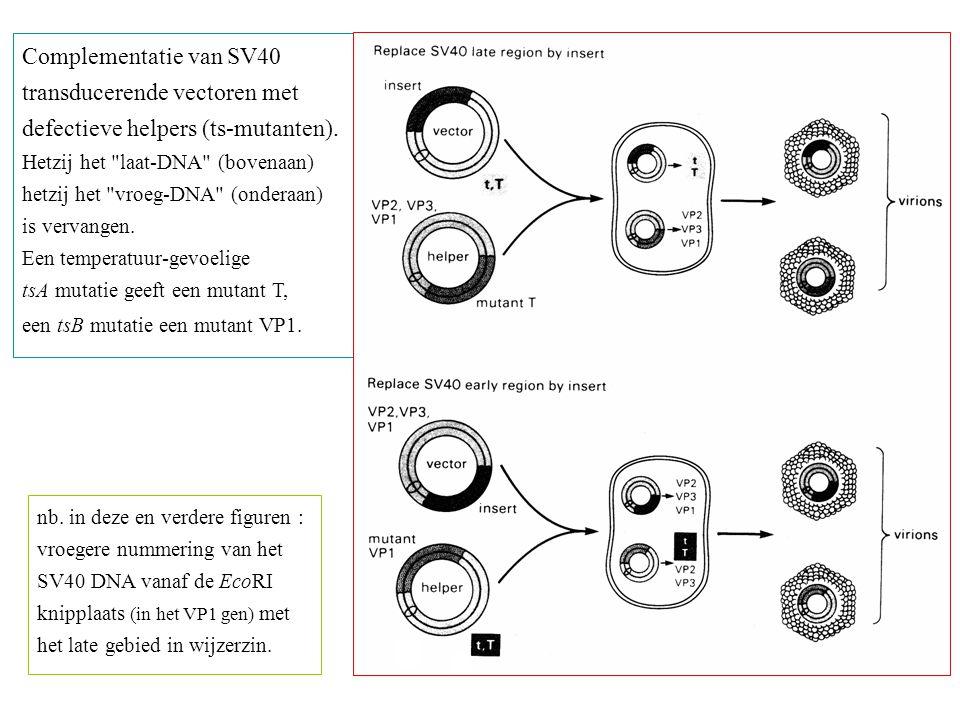 nb. in deze en verdere figuren : vroegere nummering van het SV40 DNA vanaf de EcoRI knipplaats (in het VP1 gen) met het late gebied in wijzerzin. Comp