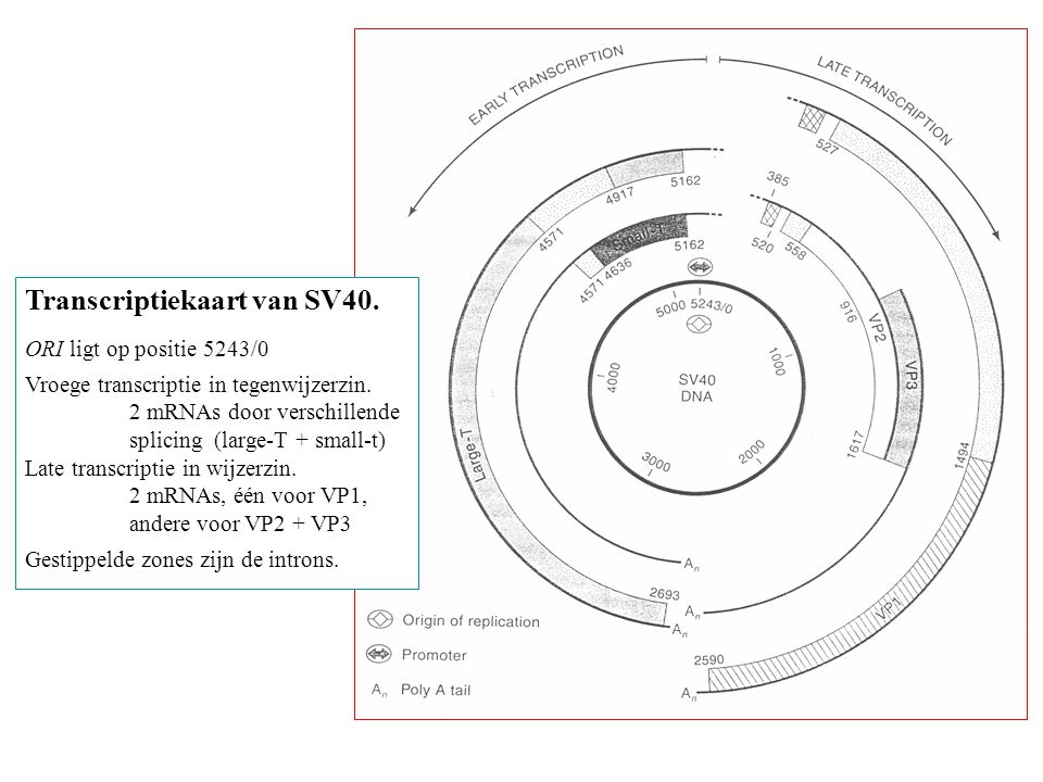 Transcriptiekaart van SV40. ORI ligt op positie 5243/0 Vroege transcriptie in tegenwijzerzin. 2 mRNAs door verschillende splicing (large-T + small-t)