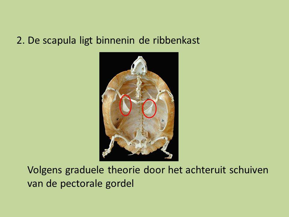 2. De scapula ligt binnenin de ribbenkast Volgens graduele theorie door het achteruit schuiven van de pectorale gordel