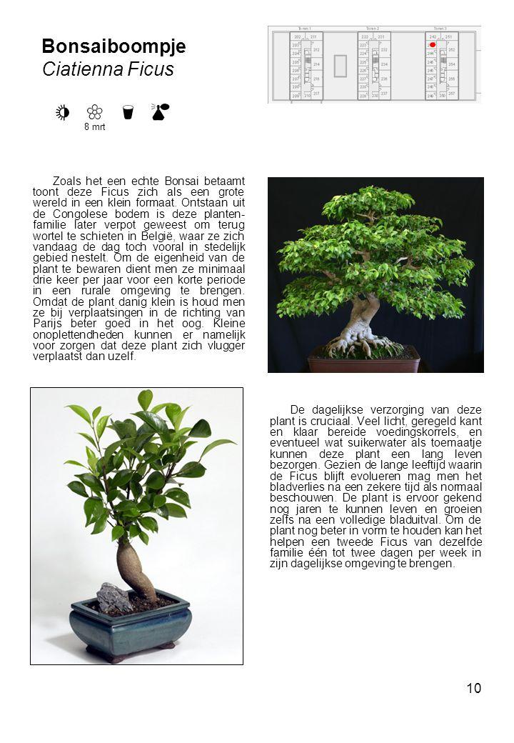 10 Bonsaiboompje Ciatienna Ficus Zoals het een echte Bonsai betaamt toont deze Ficus zich als een grote wereld in een klein formaat.