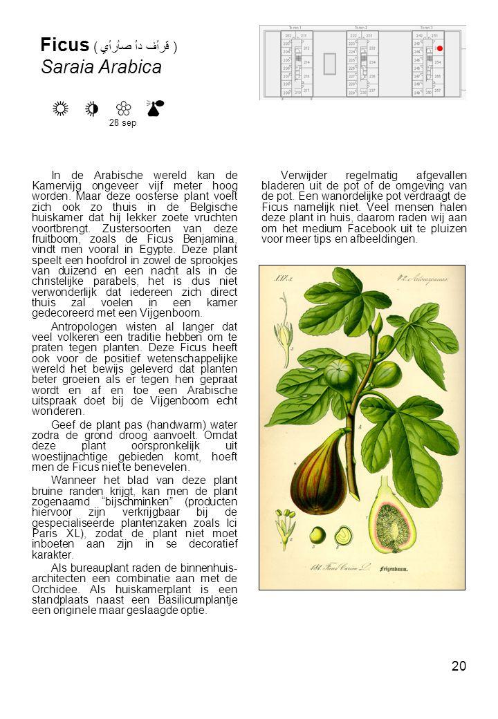 20 Ficus ( صأرأي دأ قرأف ) Saraia Arabica In de Arabische wereld kan de Kamervijg ongeveer vijf meter hoog worden.
