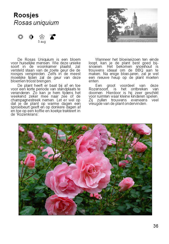 36 Roosjes Rosas uniquium De Rosas Uniquium is een bloem voor huiselijke mensen.