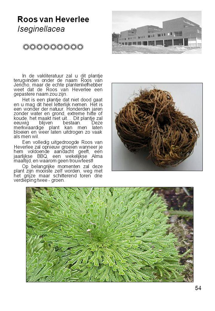 54 Roos van Heverlee Iseginellacea In de vakliteratuur zal u dit plantje terugvinden onder de naam Roos van Jericho, maar de echte plantenliefhebber weet dat de Roos van Heverlee een gepastere naam zou zijn.