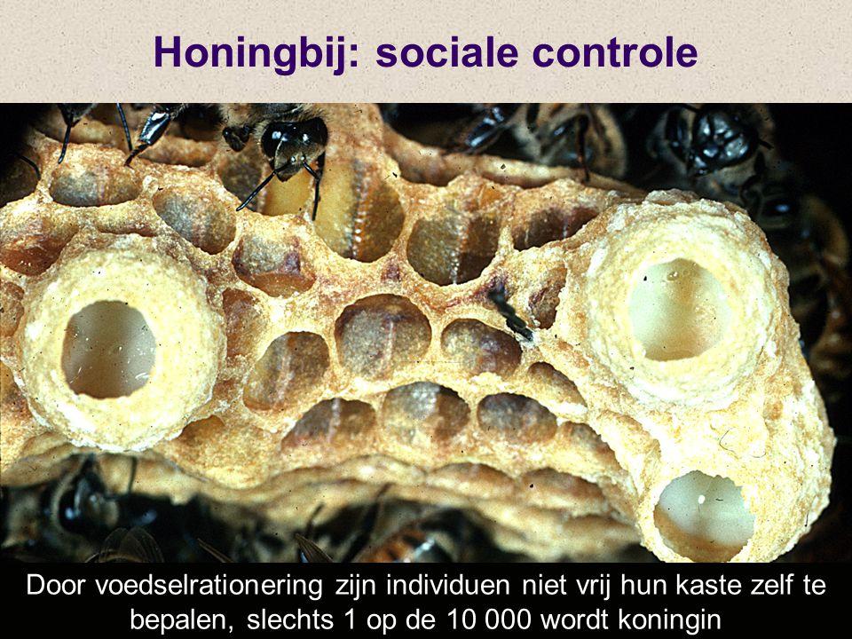 Door voedselrationering zijn individuen niet vrij hun kaste zelf te bepalen, slechts 1 op de 10 000 wordt koningin Honingbij: sociale controle