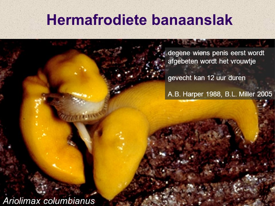 Hermafrodiete banaanslak degene wiens penis eerst wordt afgebeten wordt het vrouwtje gevecht kan 12 uur duren A.B. Harper 1988, B.L. Miller 2005 Ariol
