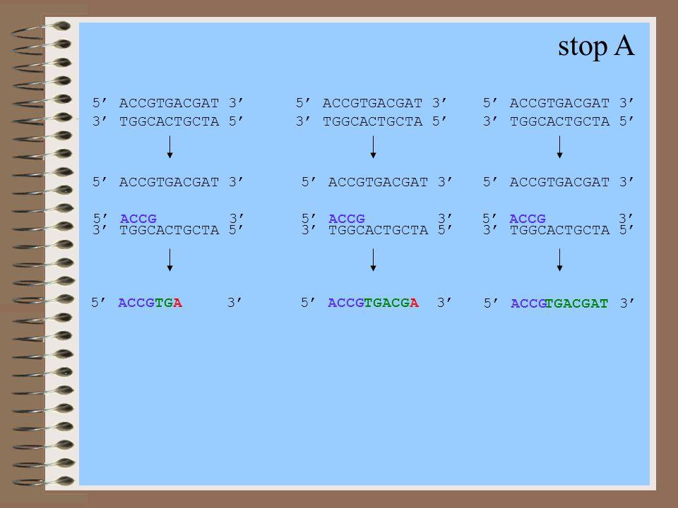 stop A 5' ACCGTGACGAT 3' 3' TGGCACTGCTA 5' 5' ACCGTGACGAT 3' 3' TGGCACTGCTA 5' 5' ACCGTGACGAT 3' 3' TGGCACTGCTA 5' 5' ACCGTGACGAT 3' 3' TGGCACTGCTA 5'