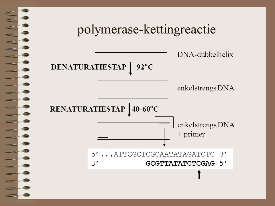 polymerase-kettingreactie DNA-dubbelhelix RENATURATIESTAP 40-60°C enkelstrengs DNA + primer 5'...ATTCGCTCGCAATATAGATCTC 3' 3' GCGTTATATCTCGAG 5' DENATURATIESTAP 92°C enkelstrengs DNA