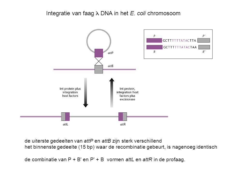 Integratie van faag DNA in het E. coli chromosoom de uiterste gedeelten van attP en attB zijn sterk verschillend het binnenste gedeelte (15 bp) waar d