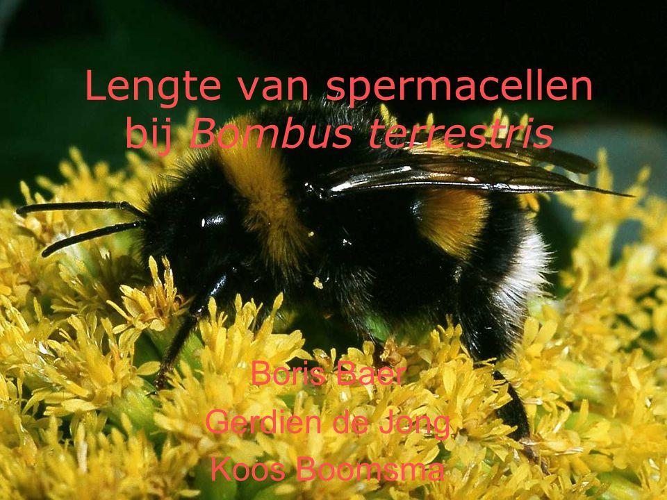 Lengte van spermacellen bij Bombus terrestris Boris Baer Gerdien de Jong Koos Boomsma