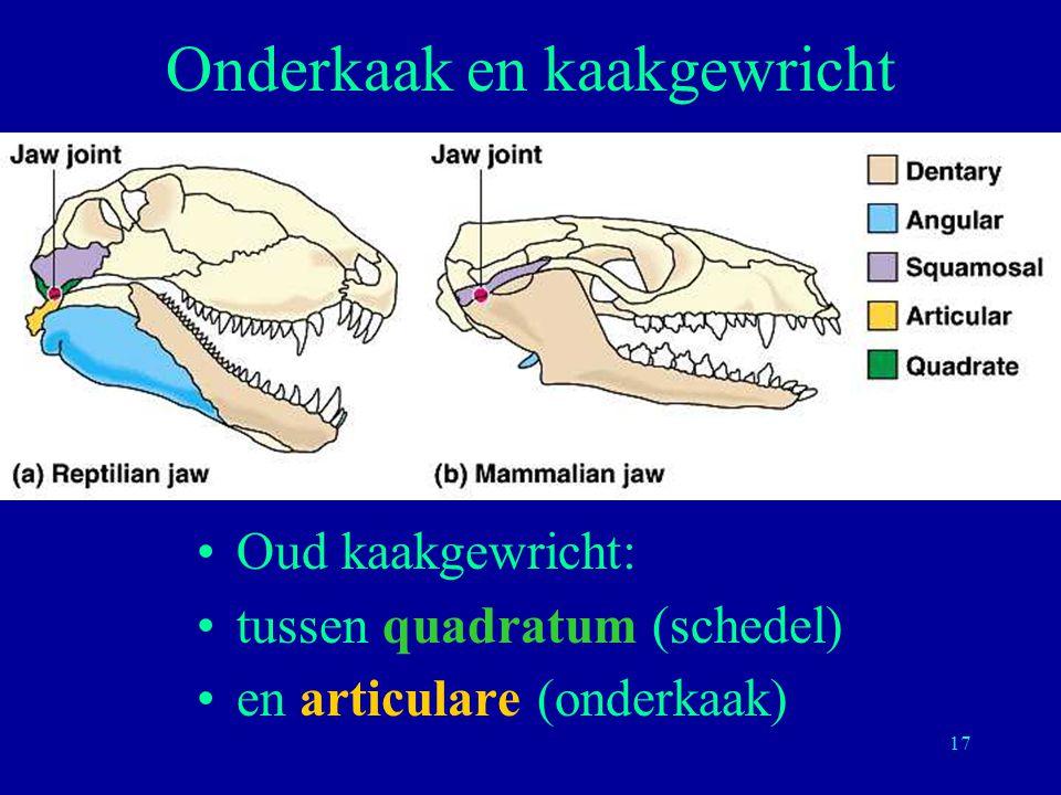 17 Onderkaak en kaakgewricht Oud kaakgewricht: tussen quadratum (schedel) en articulare (onderkaak)