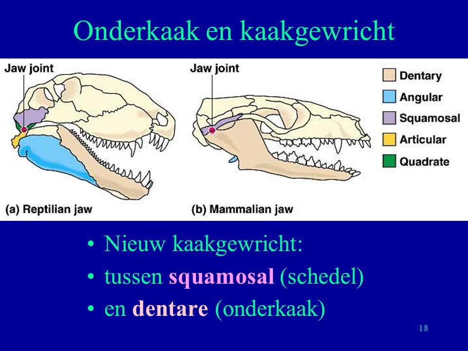 18 Onderkaak en kaakgewricht Nieuw kaakgewricht: tussen squamosal (schedel) en dentare (onderkaak)