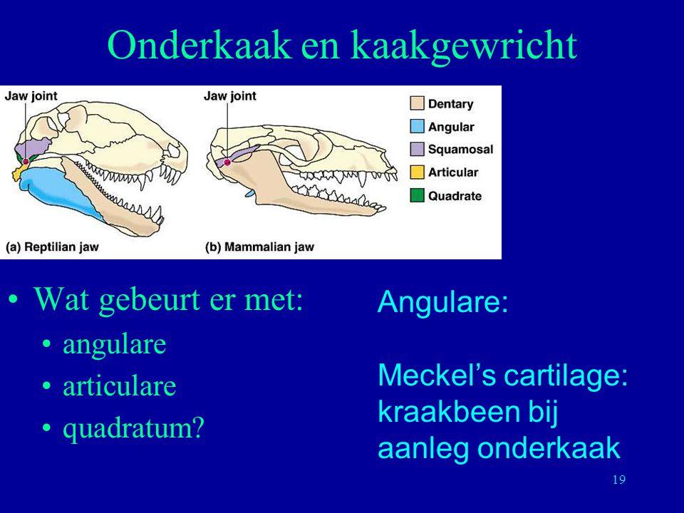 19 Onderkaak en kaakgewricht Wat gebeurt er met: angulare articulare quadratum? Angulare: Meckel's cartilage: kraakbeen bij aanleg onderkaak