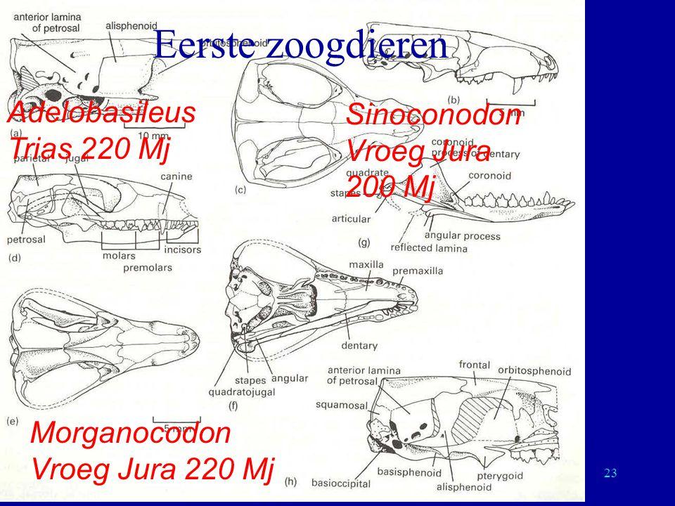 23 Eerste zoogdieren Sinoconodon Vroeg Jura 200 Mj Adelobasileus Trias 220 Mj Morganocodon Vroeg Jura 220 Mj