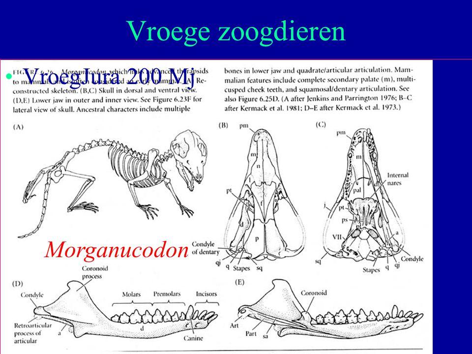 24 VroegJura 200 Mj Vroege zoogdieren Morganucodon