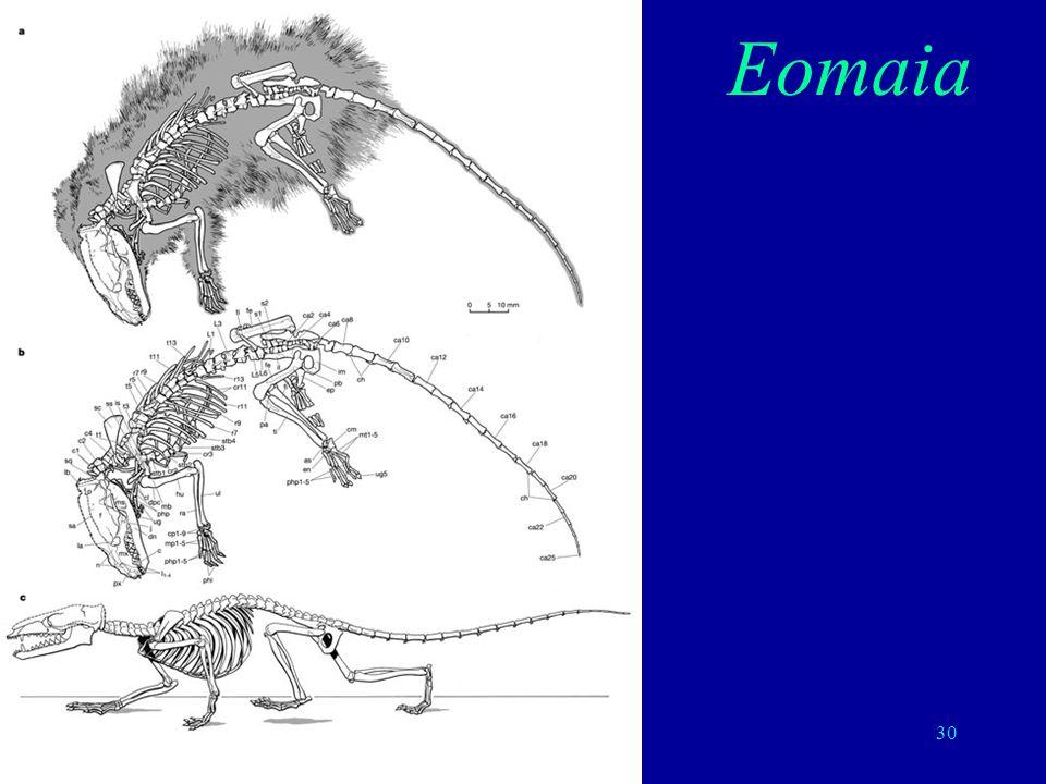 30 Eomaia