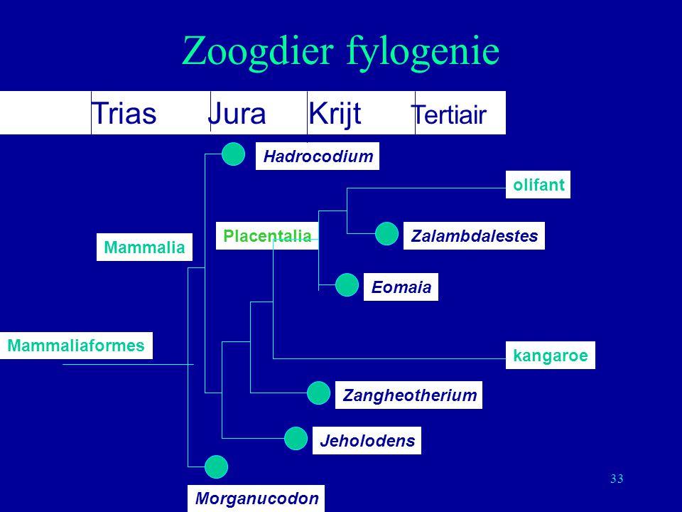 33 Zoogdier fylogenie Jeholodens Zangheotherium ZalambdalestesPlacentalia Morganucodon Mammalia Mammaliaformes kangaroe Hadrocodium Eomaia olifant Tri
