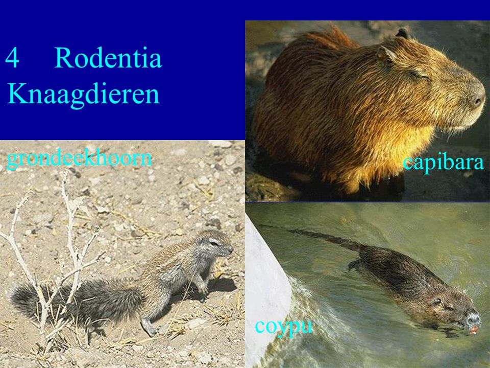 40 4Rodentia Knaagdieren grondeekhoorn capibara coypu