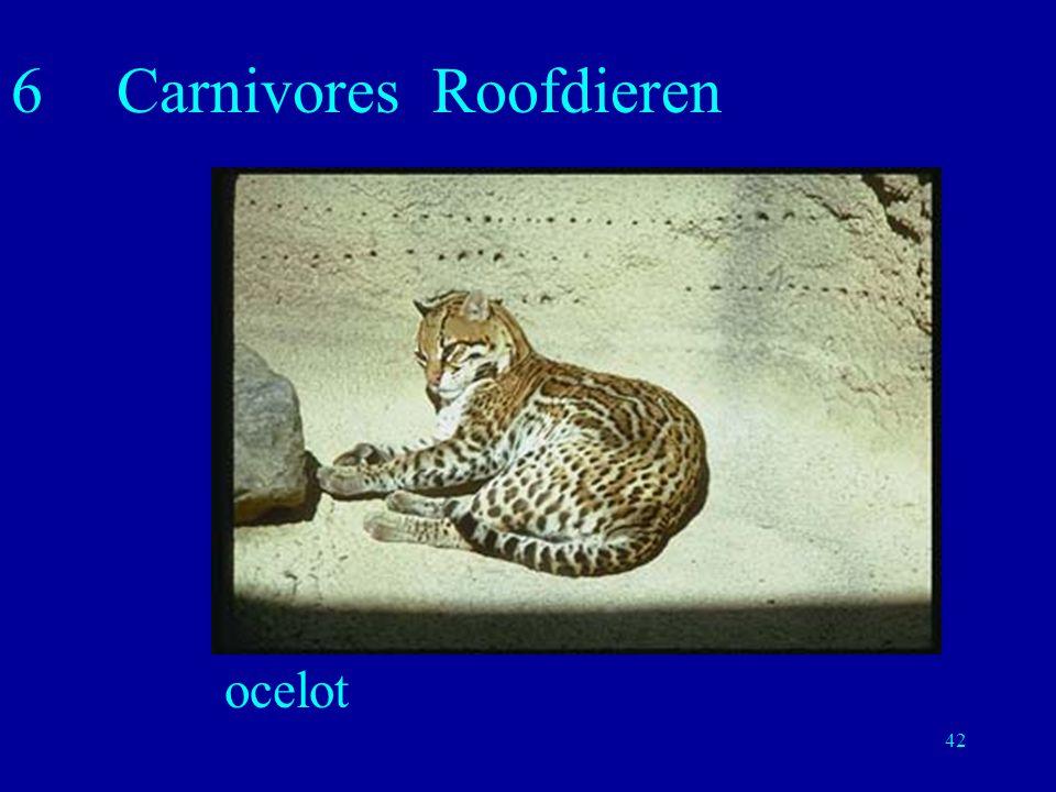 42 6Carnivores Roofdieren ocelot