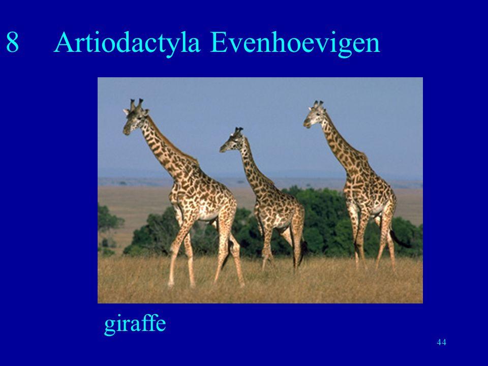 44 8Artiodactyla Evenhoevigen giraffe