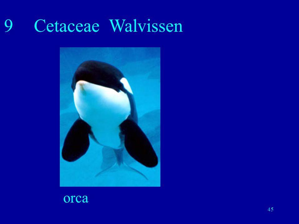 45 9Cetaceae Walvissen orca