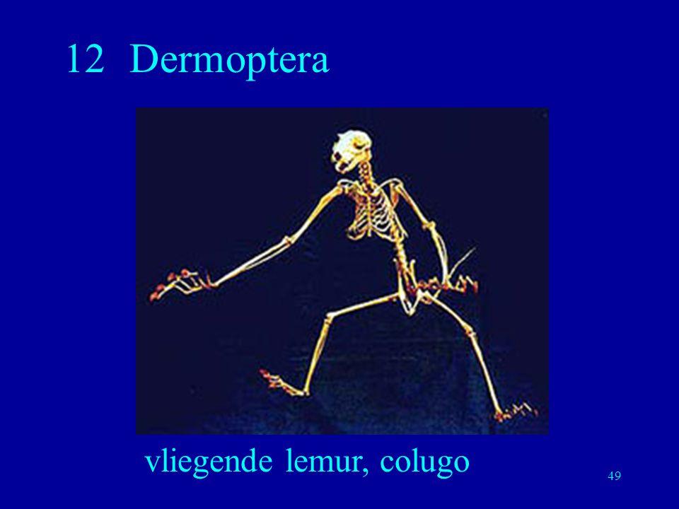 49 12Dermoptera vliegende lemur, colugo