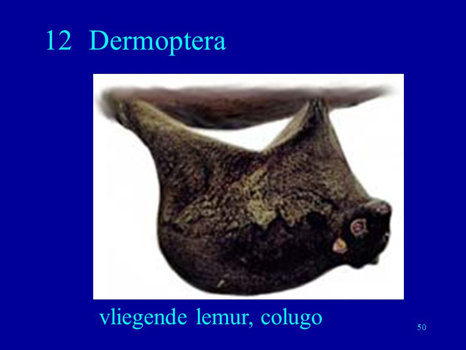 50 12Dermoptera vliegende lemur, colugo