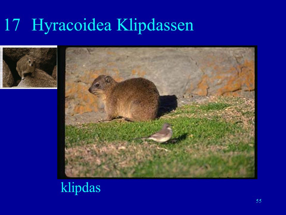55 17Hyracoidea Klipdassen klipdas