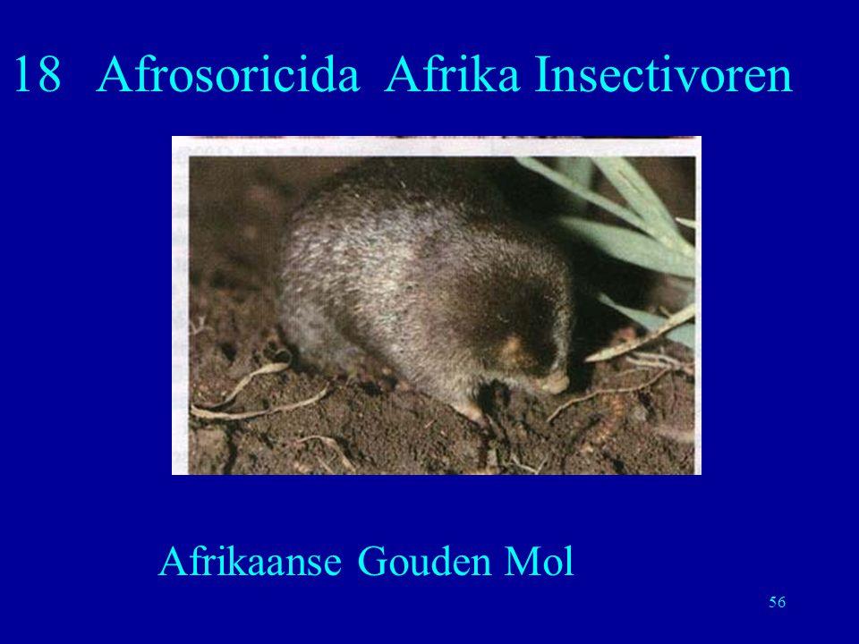 56 18Afrosoricida Afrika Insectivoren Afrikaanse Gouden Mol
